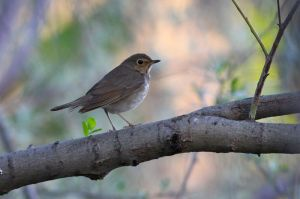 Swainson's_Thrush_-_Beaumaris_Lake_(5789062144)